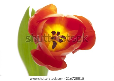 a single red tulip - stock photo