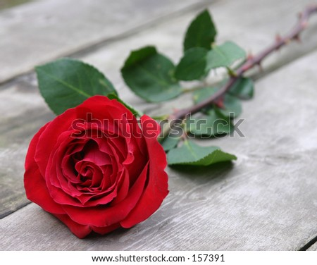 A single rose. - stock photo