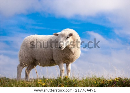 A single sheep standing on grass against a large blue sky.