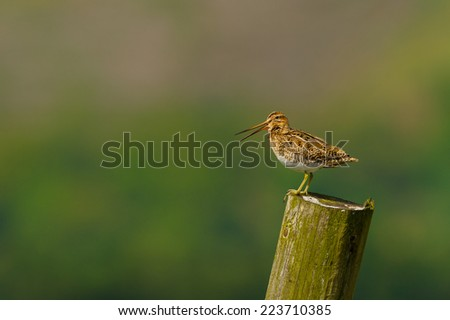 A single Snipe (Gallinago gallinago) calling to its mate on a wooden post on the North York Moors, UK. Horizontal landscape format with copy space. - stock photo
