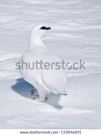 A single snow grouse looking to the right walking in a snow covered flat terrain casting a small shadow