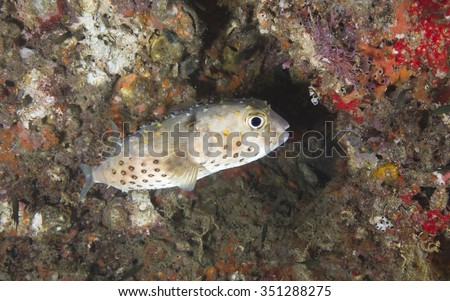 A single Spotfin Porcupinefish (Chilomycterus reticulatus) tropical fish against a coral encrusted rock background on a coral reef in the Musandam peninsula, Oman, in the straits of Hormuz