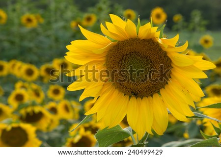 A single sunflower blooming in a field near the Blue Ridge Parkway in Western North Carolina. - stock photo
