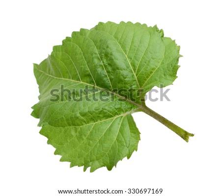 A single sunflower leaf - stock photo