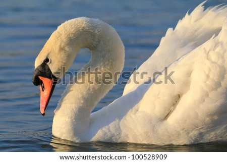 A single swan in a morning light - stock photo