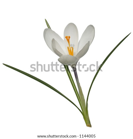A single white crocus isolated on white