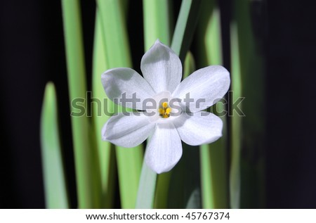 A single white paperwhite narcissus flower against a black background - stock photo