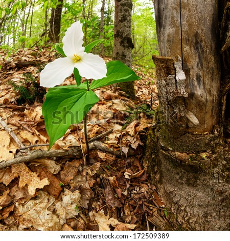 A single White Trillium growing next to a dead maple tree. Trillium grandiflorum is the official emblem of the Province of Ontario and the State Wildflower of Ohio.  - stock photo