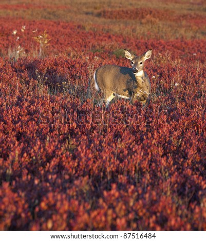 A single whitetail deer in a sea of red blueberry bushes. Shenandoah National Park, Virginia. - stock photo