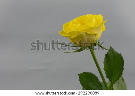 A single yellow rose against a light background. small water droplets are visible on the petals. - stock photo