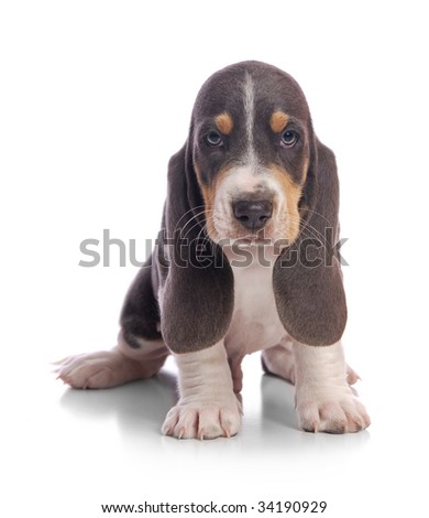 A sitting Basset puppy. - stock photo