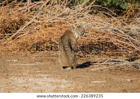 a sitting bobcat looks back over its shoulder - stock photo