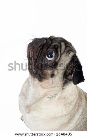 A sitting pug, isolated on white