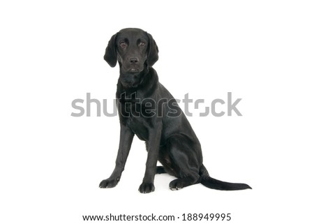 A sitting young black labrador retriever, 6 months old. Isolated on white. - stock photo