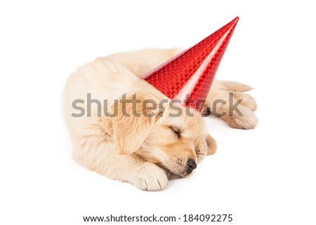 A six week old Golden Retriever puppy wearing a red party hat while laying down and sleeping on a white background - stock photo
