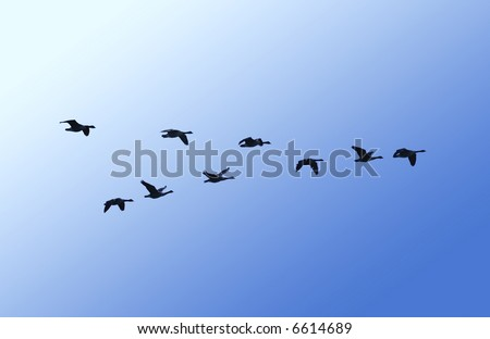 A skein of canada geese in flight - stock photo