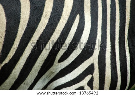 A skin background closeup of a beautiful real black and white Zebra stripes in rain - stock photo