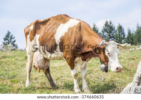 A skinny cow standing on a pasture with a bell around the neck and covered by flies