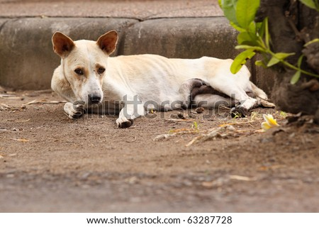 A skinny dog on the streets of Sanur, Bali, Indonesia. - stock photo