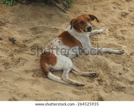 A skinny mongrel dog near an isolated Ngobe Bugle (aka Guaymi) Indigenous settlement on the mainland south of Bocas del Toro.   - stock photo