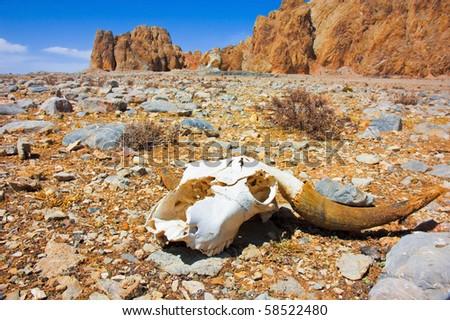 a skull on a desert - stock photo