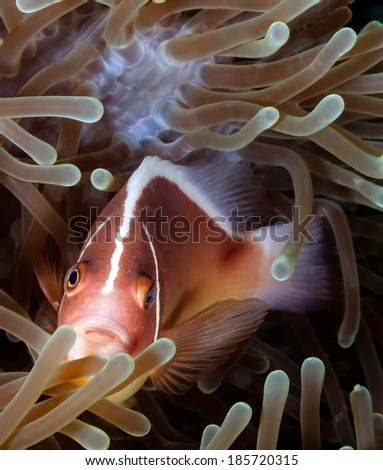 A Skunk Clownfish in an anemone on a tropical coral reef - stock photo