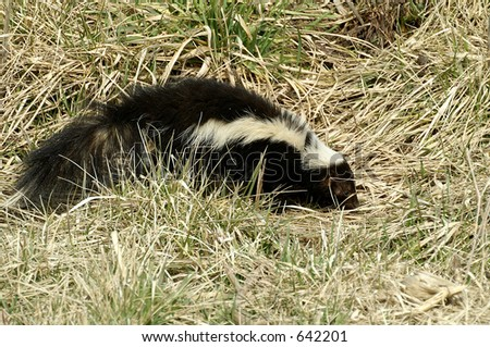 a skunk scavenging for food in some grass - stock photo