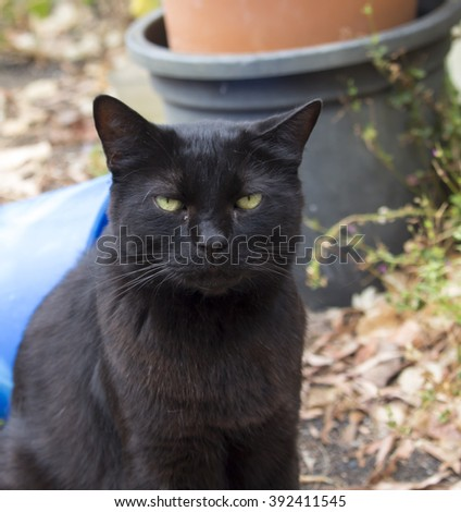 A sleek contented shiny coated  black pet domestic cat sits in the garden  by the bucket and hoses on a cloudy afternoon in late summer .