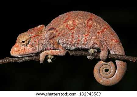 A sleeping baby Oustalet's or Malagasy giant chameleon (Furcifer oustaleti) is awakened in Madagascar Rain Forest. Often considered the largest species in the world.  Leaf, branch, foliage, tree. - stock photo