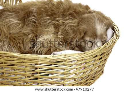 A sleeping cockapoo is having a nap is a wicker basket, isolated against a white background. - stock photo