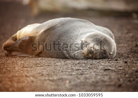A sleeping fur seal on Dececption Island Antarctica