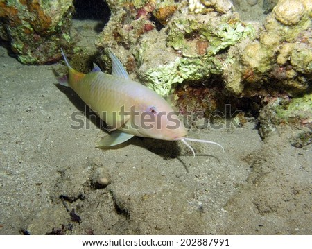 A sleeping goatfish (mullidae) on a coral reef at night