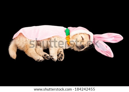 A sleeping six week old Golden Retriever puppy wearing an Easter Bunny costume - stock photo