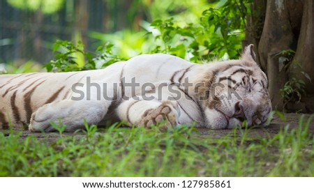 A Sleeping White Tiger - stock photo