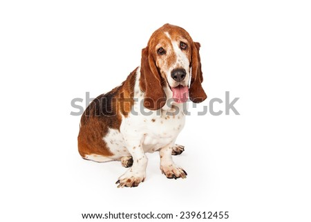 A sleepy Basset Hound dog sitting looking straight into the camera with a funny expression