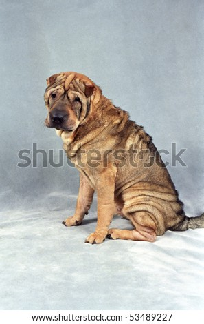 A sleepy brown and tan Sharpei sits in front of a plush blue backdrop. - stock photo