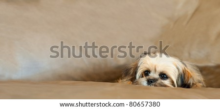 A sleepy but cute Shitzu Yorkie puppy dog rests on a couch. - stock photo