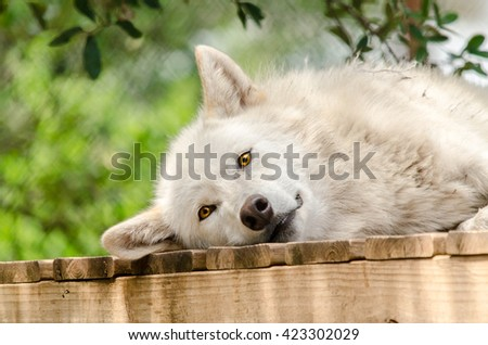 A sleepy gray wolf relaxes.