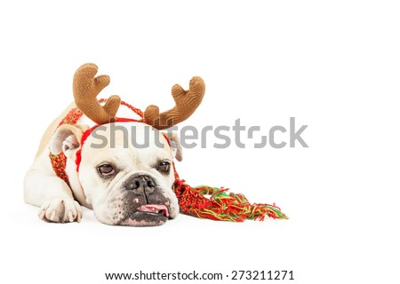 A sleepy looking Bulldog breed dog dressed as a reindeer is laying with tongue hanging out. Isolated on white with copyspace. - stock photo