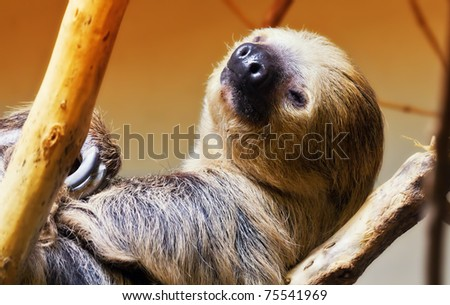 A sloth about to fall asleep in a tree - stock photo