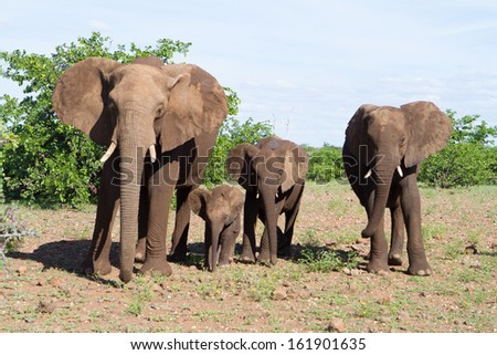 A small African elephant family group standing next to each other all facing the camera - stock photo