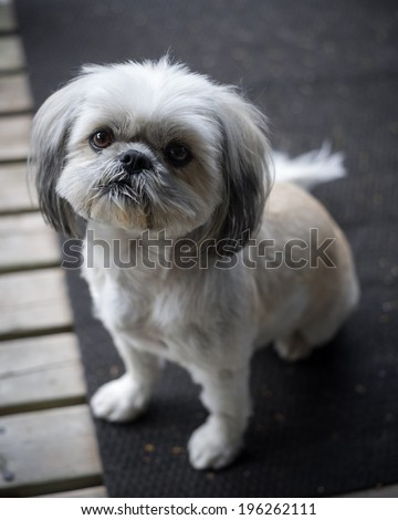A small and cute Shih Tzu puppy dog sitting and looking up into the camera. - stock photo