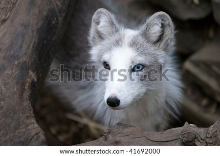 A small arctic fox in a zoo with different colored eyes - stock photo