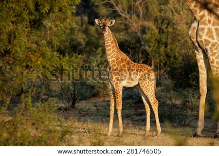 A small baby giraffe (Giraffa camelopardalis) in natural habitat, South Africa