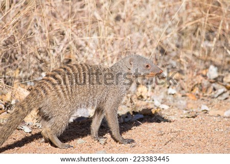 A small banded mongoose walking across a dry veld