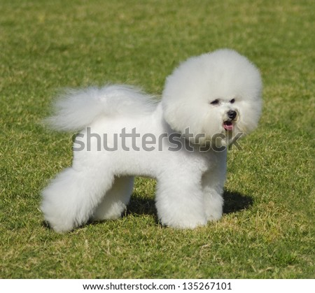 A small beautiful and adorable bichon frise dog standing on the lawn and looking cheerful. - stock photo