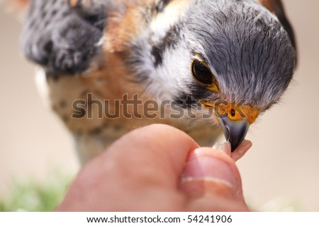 a small bird being fed raw white meat wish shallow depth of field