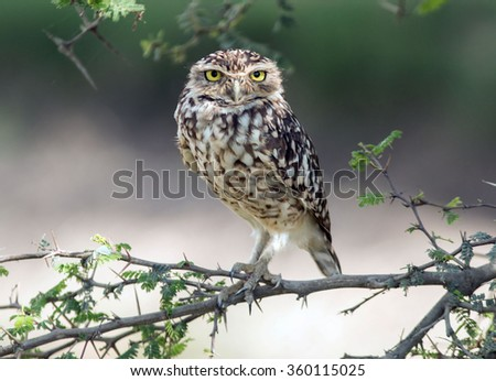 A small bird Burrowing Owl looking directly at the camera,perching on a leafy branch in the desert of Peru. - stock photo
