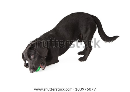 A small black Dachshund mixed breed dog chewing on a green tennis ball - stock photo