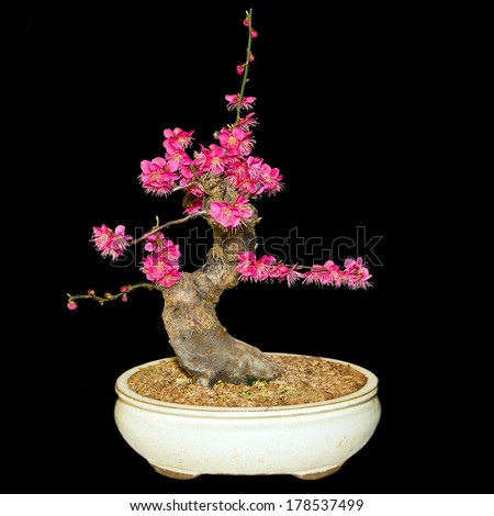 A small bonsai cherry tree in a ceramic pot, cascade style isolated on a black background - stock photo